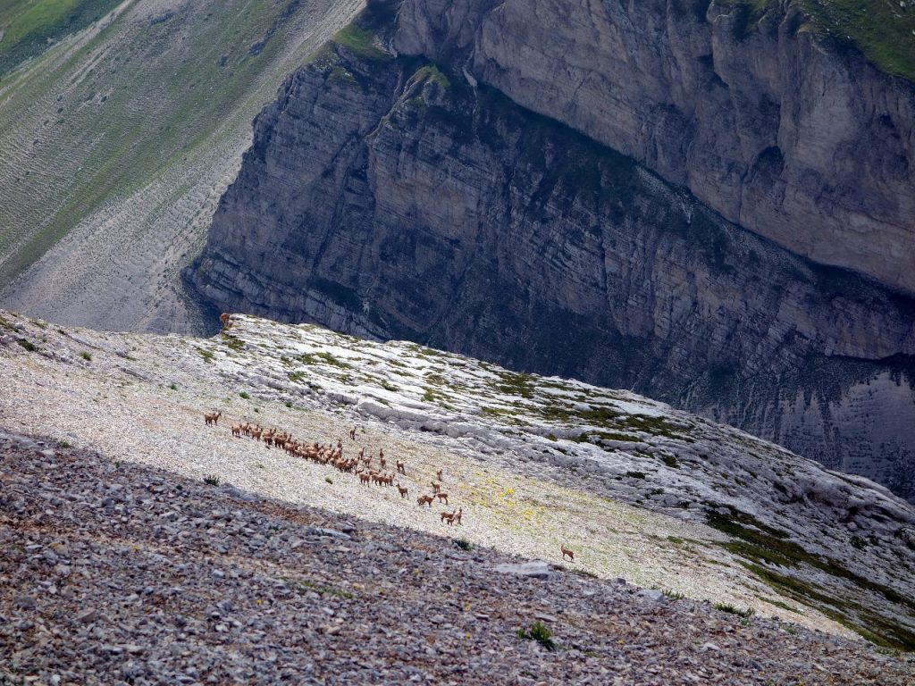 Camosci (chamois) at 2500m, just below the col between Pizzo d'Intermesoli's two main summits