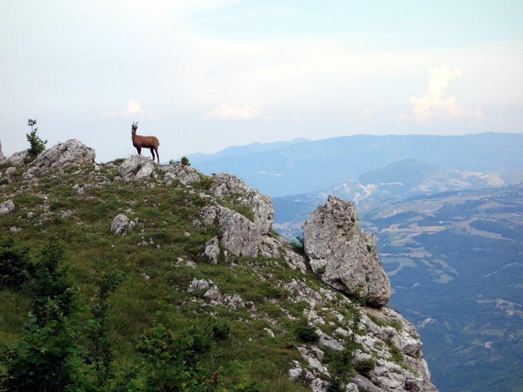 Camoscio (chamois) high above Fara San Martino