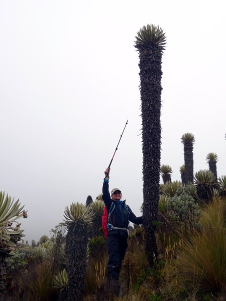 Frailejones can grow up to 7m in height