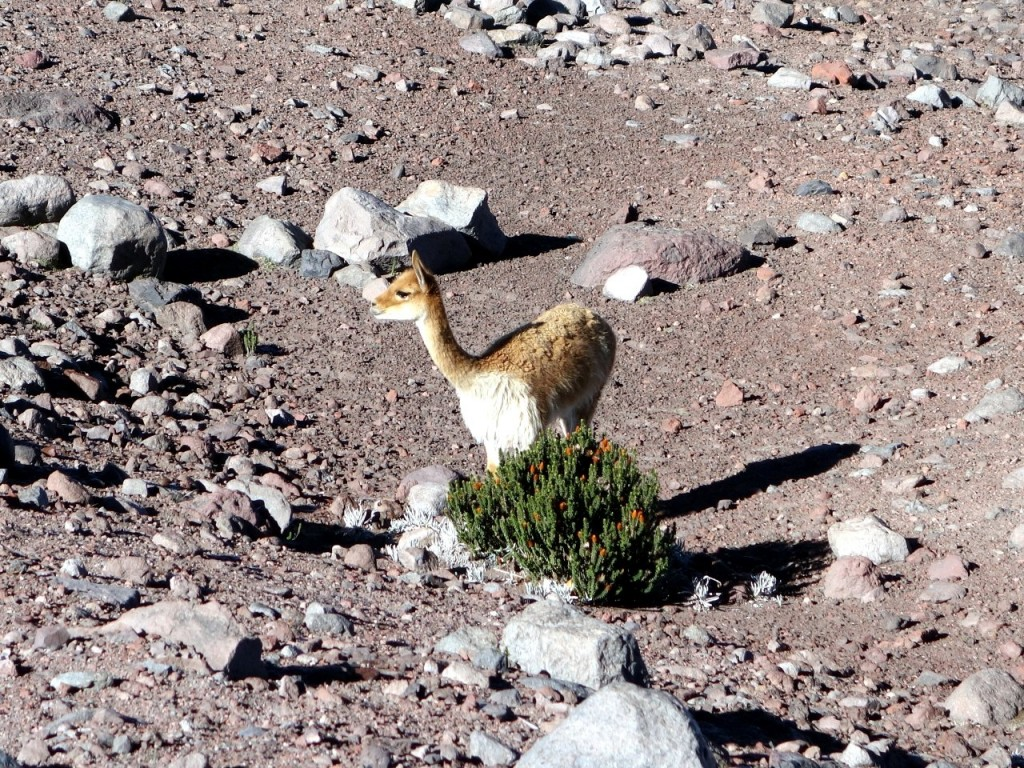 Vicuñas are not shy, and they love the taste of the chiquiragua bush