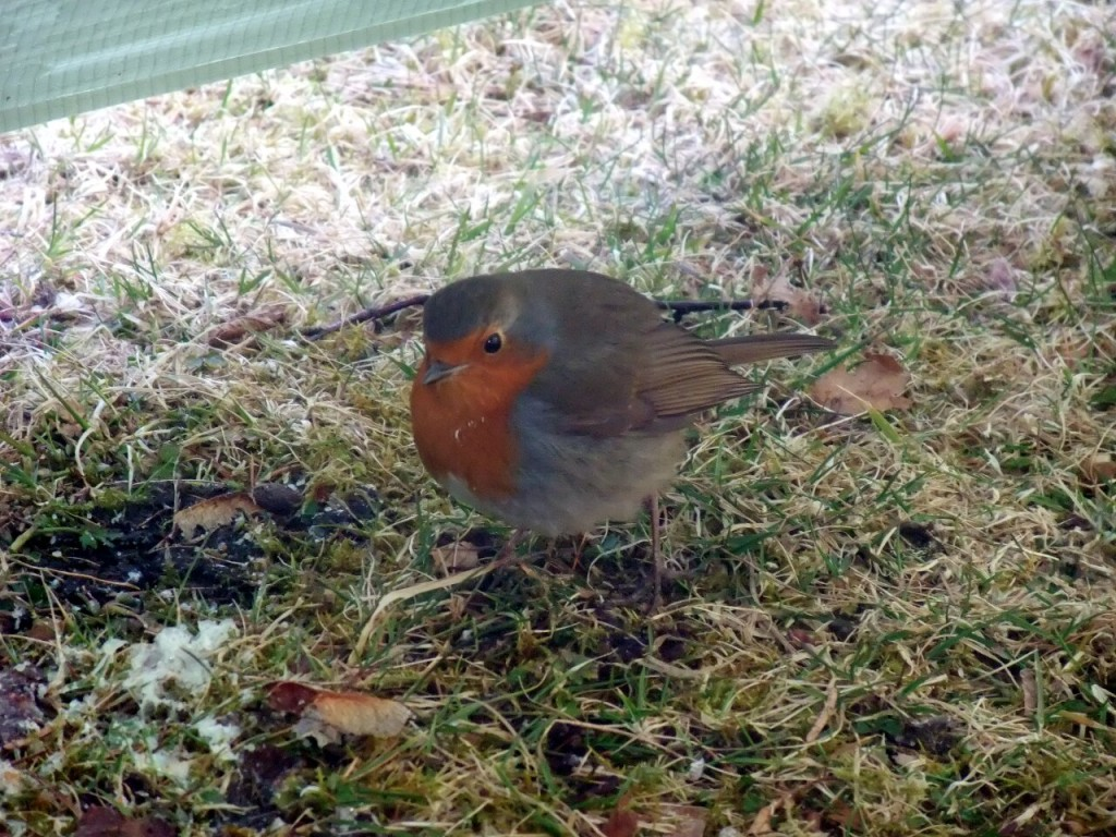 A bold robin visits my tent at the campsite in Tyndrum