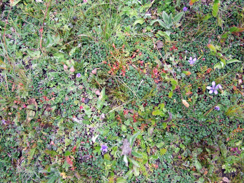 An amazing profusion of plant life in a single square foot of Jangothang Ri's slopes