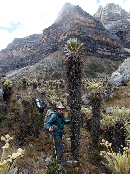 Frailejones plants can grow up to three metres in height
