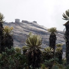 Two strange plants of the Colombian paramo