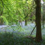 Bluebell forest in the Chilterns