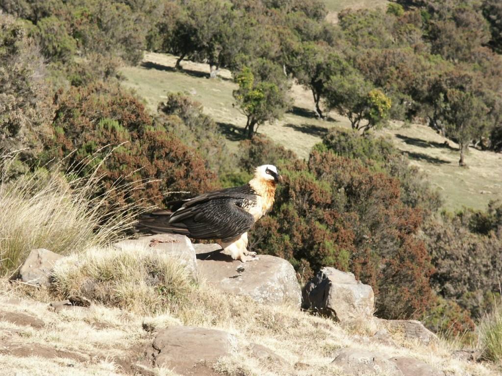 A lammergeier, or bearded vulture
