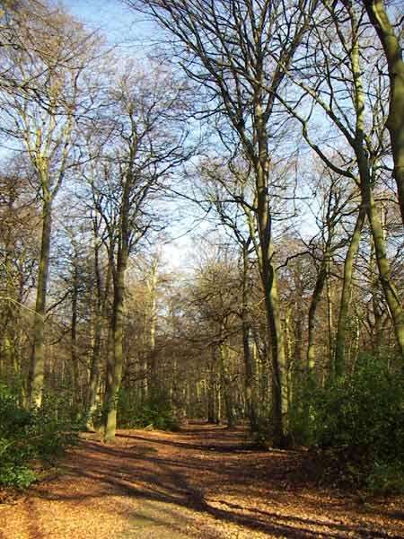 Beech woods near Henley-on-Thames