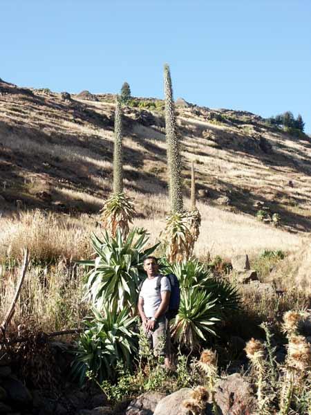The extraordinary giant lobelia