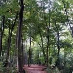 Footpath through English beech woods